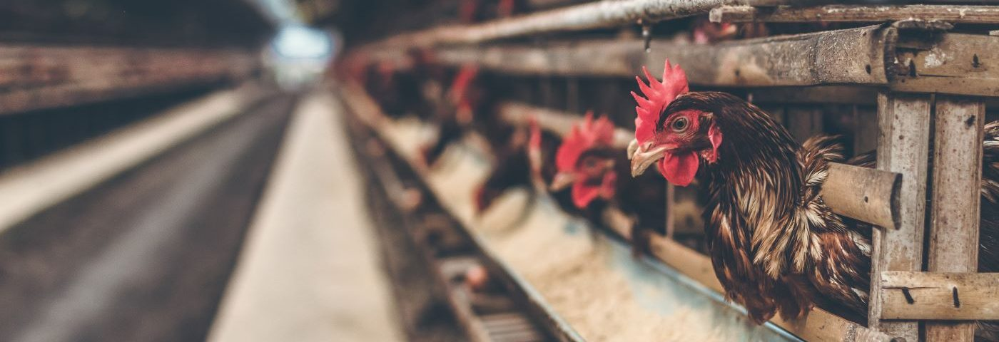 Legyen-e állatjóléti célú tojásjelölés az élelmiszereken: az európai állatjóléti intézkedések nyomában